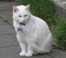 Reykjavik Cat